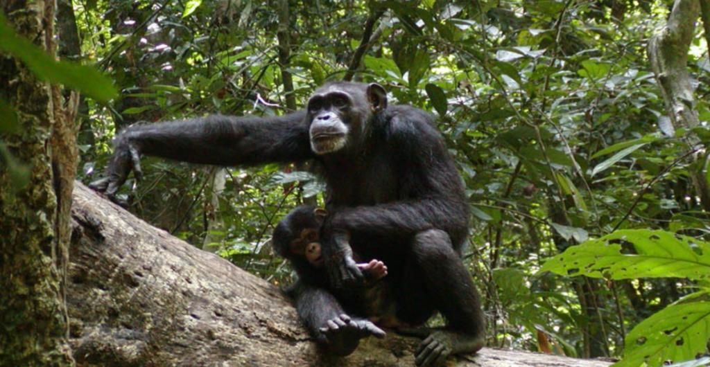 Wild Chimpanzee Foundation